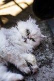 Perzische witte kat Stock Afbeeldingen