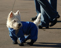 Pes. West highland white terrier in dog coat on walk with owner Stock Image