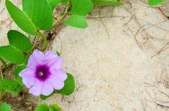 Pes-caprae del Ipomoea, medusa del antídoto del Ipomoea Flor de la enredadera del pie de la cabra en el fondo blanco de la arena imagen de archivo libre de regalías