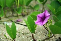 Pes-caprae Ipomoea, πρωί-δόξα παραλιών, αναρριχητικό φυτό ποδιών αιγών ` s Στοκ φωτογραφία με δικαίωμα ελεύθερης χρήσης