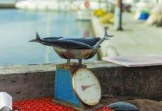 Pesatura del pesce Fotografia Stock