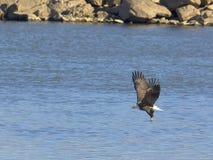 Pesca adulta del águila calva Imagen de archivo libre de regalías