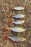 Pesca afortunada con el rudd cogido que pone en la hierba Fotografía de archivo