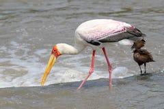 pesca Amarillo-cargada en cuenta de la cigüeña cerca de un pájaro de Hamerkop Fotografía de archivo