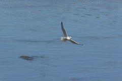 pesca Anillo-cargada en cuenta de la gaviota Imagen de archivo