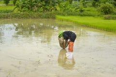 Pesca asiática do fazendeiro em um campo do arroz Fotografia de Stock