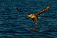 Pesca atada blanco del águila fotos de archivo