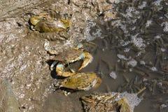 Pesca atlántica de los cangrejos azules Fotos de archivo libres de regalías