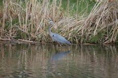 Pesca azul de la garza Imagen de archivo