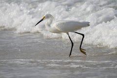 Pesca bianca dell'egretta nelle onde Immagini Stock Libere da Diritti