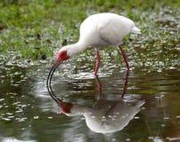 Pesca bianca dell'ibis ed acqua potabile Fotografie Stock Libere da Diritti