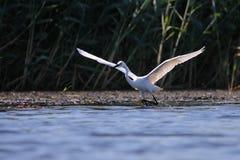 Pesca bianca di garzeta di Egreta del egret Fotografia Stock Libera da Diritti