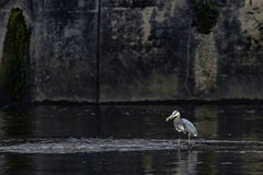 Pesca blu del herron immagini stock libere da diritti