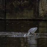 Pesca blu del herron fotografie stock libere da diritti