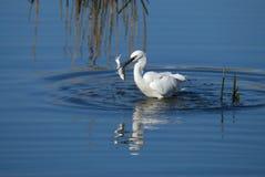 Pesca branca do pássaro Fotos de Stock Royalty Free