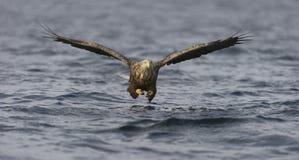 pesca Branco-atada da águia Foto de Stock Royalty Free