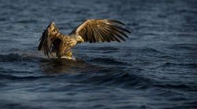 pesca Branco-atada da águia Fotografia de Stock