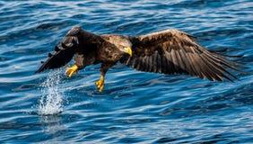 pesca Branco-atada da ?guia Fundo azul do oceano Nome cient?fico: Albicilla do Haliaeetus, igualmente conhecido como o ern, erne, foto de stock