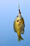 Pesca cogida Lepomis macrochirus Foto de archivo