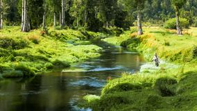 Pesca con la mosca un'insenatura fertile della molla in Nuova Zelanda immagini stock