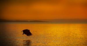 Pesca da águia de mar no por do sol Imagem de Stock