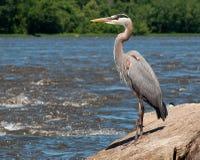 Pesca da garça-real de grande azul Foto de Stock Royalty Free