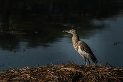 Pesca da garça-real da lagoa no pantanal Fotografia de Stock Royalty Free
