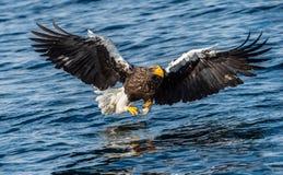 Pesca da ?guia de mar de Steller adulto Nome cient?fico: Pelagicus do Haliaeetus Fundo azul do oceano Habitat natural fotos de stock