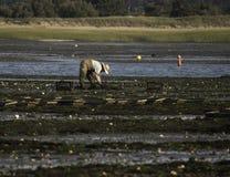 Pesca da ostra da pessoa no porto de Wellfleet, Wellfleet, Massachusetts Fotografia de Stock Royalty Free
