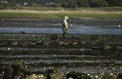 Pesca da ostra da pessoa no porto de Wellfleet, Wellfleet, Massachusetts Fotografia de Stock