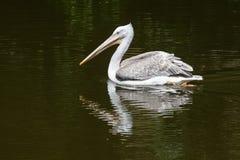 Pesca Dalmatian do pelicano na água Imagens de Stock Royalty Free