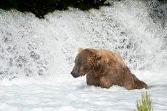Pesca de Alaska del oso marrón Fotos de archivo libres de regalías