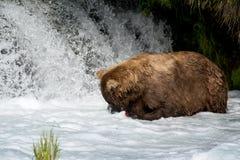 Pesca de Alaska del oso marrón Foto de archivo
