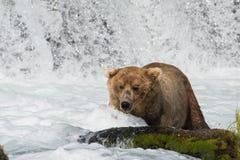 Pesca de Alaska del oso marrón Fotografía de archivo libre de regalías
