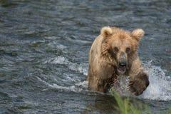 Pesca de Alaska del oso marrón Imagenes de archivo