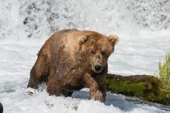 Pesca de Alaska del oso marrón Fotografía de archivo