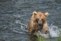 Pesca de Alaska del oso marrón Imagen de archivo