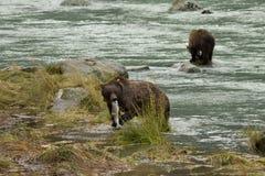 Pesca de Brown Bearx de dos Alaskan para los salmones en el río de Chilkoot, Haines, Alaska Imagen de archivo