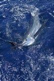 Pesca de esporte real bonita do peixe agulha do espadim branco Fotos de Stock