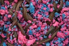 Pesca de gusanos vivos fotografía de archivo libre de regalías