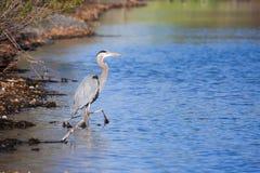 Pesca de la garza de gran azul Imagen de archivo