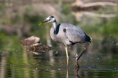 Pesca de la garza de gran azul Imagen de archivo libre de regalías