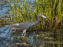 Pesca de la garza de pequeño azul en una mañana hermosa en la Florida, los E.E.U.U. Fotos de archivo libres de regalías