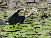 Pesca de la garza en una charca Imagen de archivo