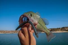 Pesca de la lubina Foto de archivo libre de regalías