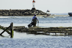 Pesca de la ostra de la persona en el puerto de Wellfleet, Wellfleet, Massachusetts Fotos de archivo