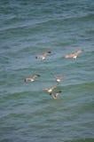 Pesca de las gaviotas Imagen de archivo