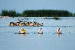 Pesca de los pelícanos blancos Fotos de archivo libres de regalías