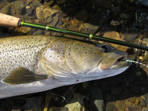 Pesca de mosca de Taimen Imagens de Stock