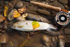 Pesca de mosca en aguas tranquilas Imágenes de archivo libres de regalías